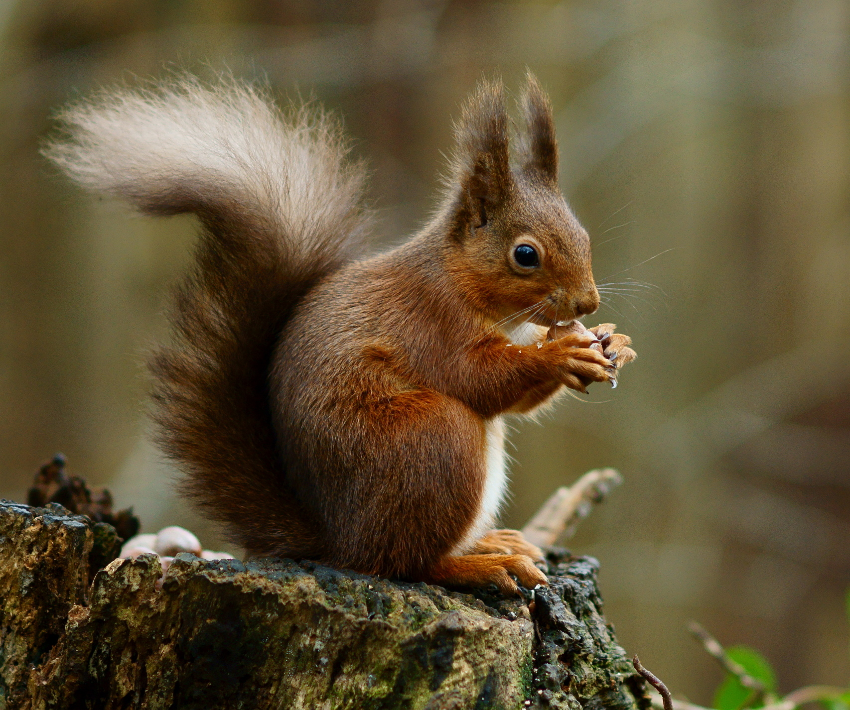 A Squirrel That Is Worried Hackers Might Steal Its Acorn