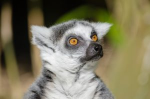 This lemur wants to know what is up with Caldera lately?