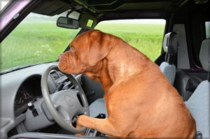 A Dog Driving A Car