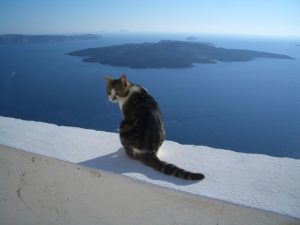 A cat sitting overlooking the Santorini Caldera